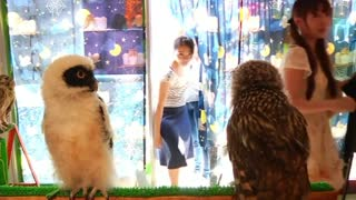 Bird fans flock to Japan Owl Cafe - Video