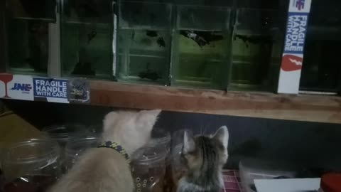 confused kitten try to eat betta fish