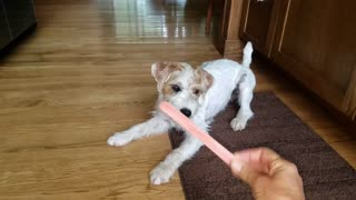 Parson Russell Terrier freaks out over nail file