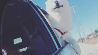 Wind majestically blows over dog during car ride - Video