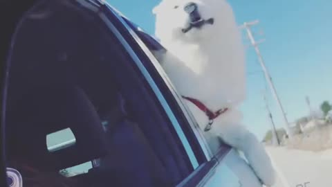 Wind majestically blows over dog during car ride