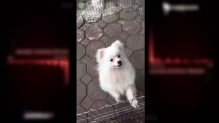 White-breasted dog , Roar lion  - Video