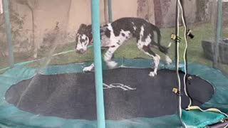 Great Dane Puppy acting crazy on trampoline