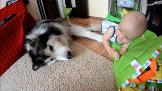 Alaskan Malamute enjoys playtime with toddler