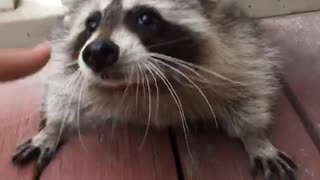 Raccon gets up close and personal  - Video