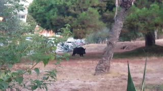 Wild boar captured on camera in Marbella urbanization