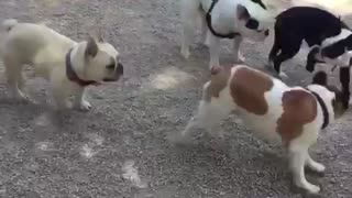 Dog park is French Bulldog heaven - Video
