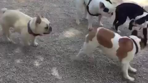Dog park is French Bulldog heaven