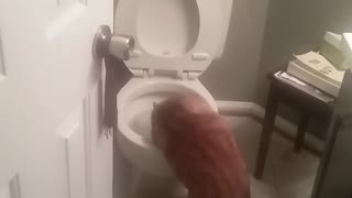 Orange cat licking water from toilet - Video