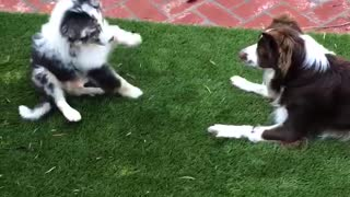 Excited Puppy Loses his Balance