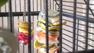 Green bird in cage taking craker and eating it
