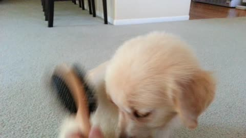 Super Sweet Puppy Loves To Be Brushed - 2 Months Old - English Cream Golden Retriever Dog