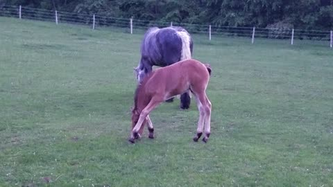 Foal's legs are too long, adorably struggles to eat grass