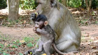 Cute Young Monkey Now Happy Eat With Mom