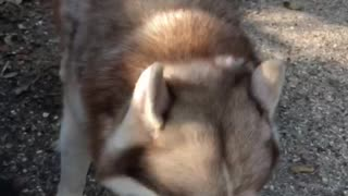 Cute Husky takes a drink after trail walk