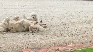 Puppies Pester Dad to Play