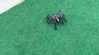 Spider scares small dog - Video