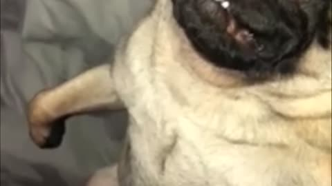 Tired pug sleeps in totally hysterical position