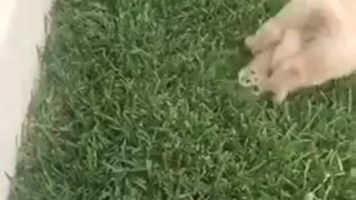 Small white puppy face plant ledge into grass - Video