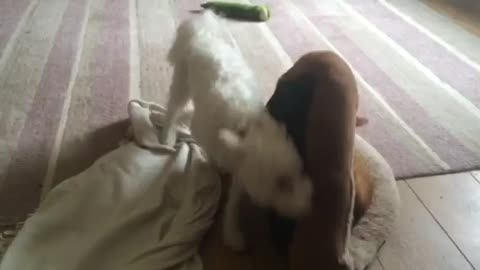 Dog attempts to reclaim bed from cat