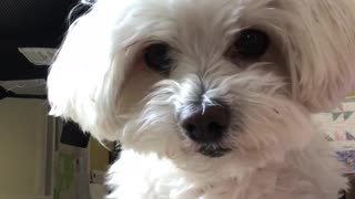 Dog pauses then attacks camera - Video