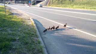 Ducks stopped the traffic of cars