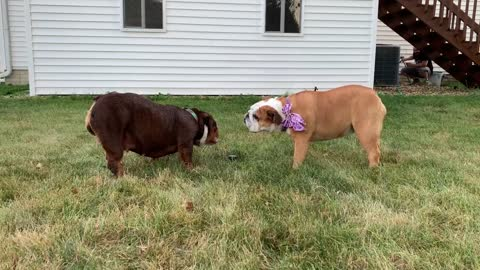 These bulldogs have very different reactions to automated sprinkler
