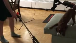 Brown dog on couch barking at vacuum cleaner  - Video