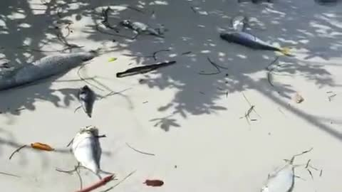 Devastation on Florida Beaches Due to Red Tide