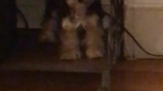 Little black and brown yorkie dog stands on book shelf - Video