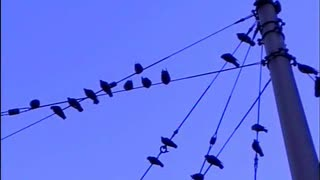 Pigeons Swingin' on a Line  - Video