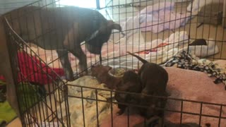 Loving Dog Plays With Puppies From Outside The Cage