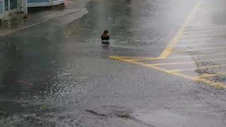 Duck Swimming in the Street - Video