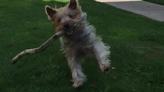 Fluffy brown dog runs at camera with huge stick