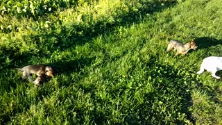 chihuahua big family pupie playing together - Video