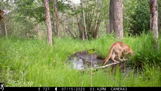 A Mountain Lion Visits a Spring in the Woods