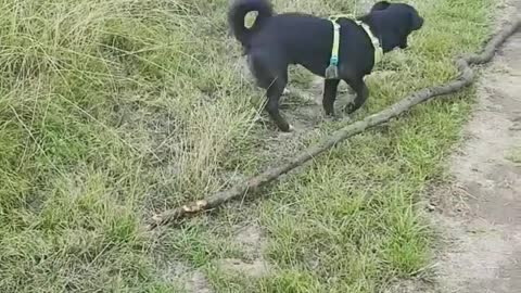 Dog playing with a Stick Outside