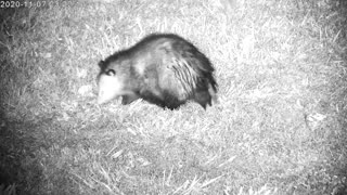 Opossum Searching For Food