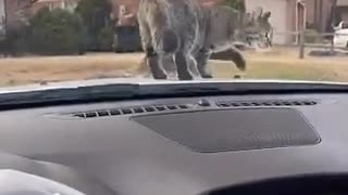 Unsuspecting kitty gets startled by windshield wipers