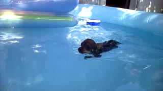 Chihuahua puppy swims in the pool: Casper - Video