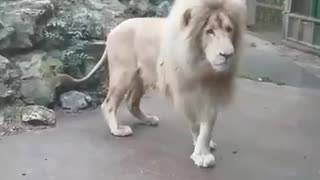 Lion Afraid Of Bubbles - Video