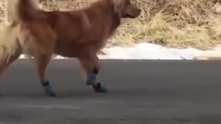 A Cute Dog Has Hilarious Reaction To New Shoes - Video