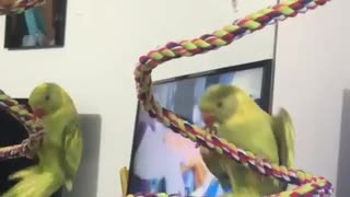 "Talking parrot shouts ""whee"" while hanging upside down"