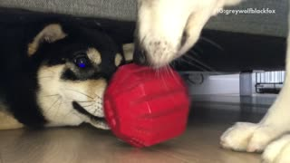 Black dog under couch struggles to get red ball - Video