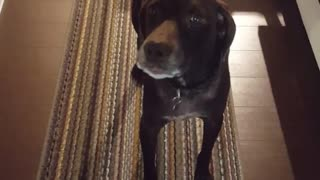 Brown dog looking at the camera howling - Video