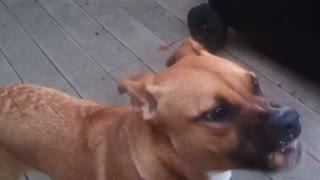 Dog hilariously tries peanut butter - Video