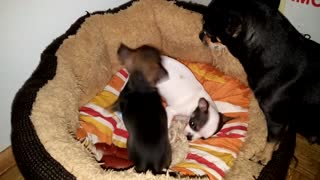 chihuahua dog puppy fighting with mom
