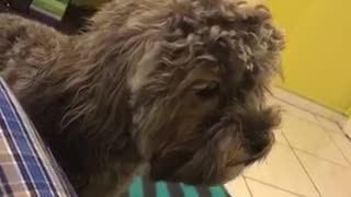 Furry black dog wants attention - Video
