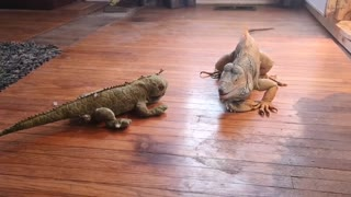 Iguana Tussles with Toy