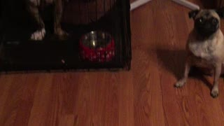 Synchronized Dog Treat Eating - Video